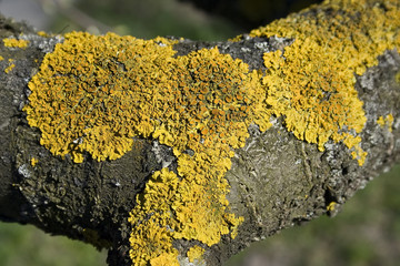 macro the lichen on bark of tree