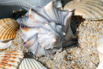 Whelk shell on the beach