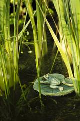 Wasserpflanzen im Ziergartenteich