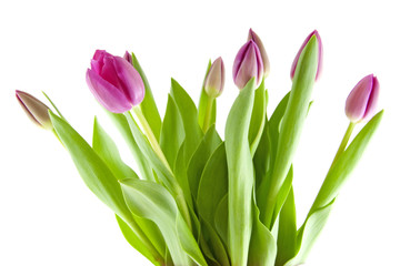 Bouquet of pink tulips in closeup over white background