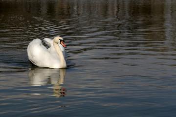 coquettish swan