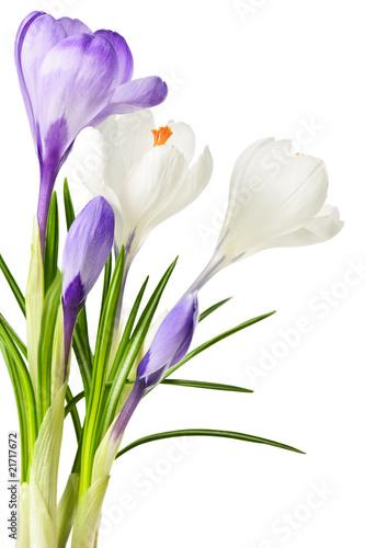 Staande foto Krokussen Spring crocus flowers