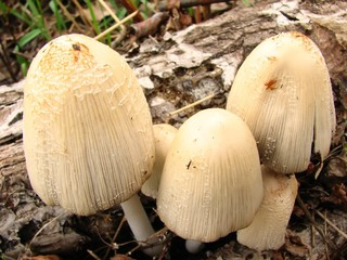 Coprinus micaceus, mushrooms
