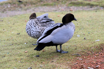 Pair of Australian Maned Goose bird