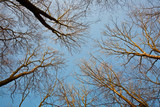 crown of trees with clear blue sky and harmonic branch structure poster