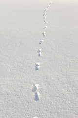 coyote tracks in the snow