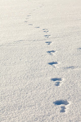 snowshoe hare tracks in the snow