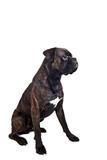 Brindle boxer dog sitting in studio poster