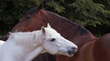 Pferde knabbern interracial schmusen Freundschaft