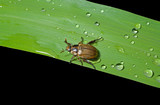 Beetle chafer on grass-blade 6 poster