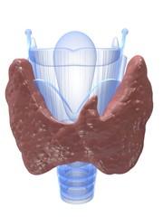 Kehlkopf mit Schilddrüse
