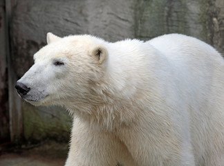 Polar bear in Vienna zoo