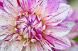 Macro view of pink and white flower dahlia