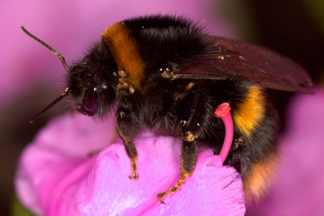 Bumblebee on pink flower carrying parasitic mites on its body