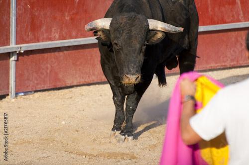 Staande foto Stierenvechten Fighting bull picture from Spain. Black bull