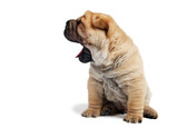 sharpei puppy with open jaws poster