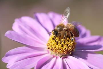 コスモスと蜂#2