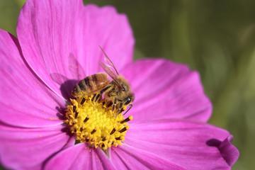 コスモスと蜂#1