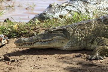 kenya coccodrilli tsavo