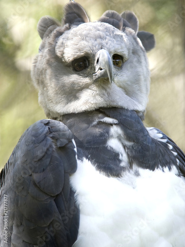 poster of harpy eagle, panama, central america, parrot bird
