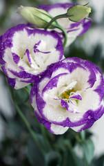Tulip Gentian (Eustoma)