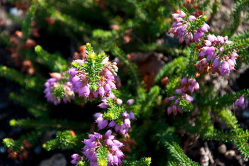 Detail of violet heather - Erica x williamsii