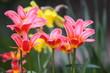 minature tulips