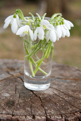 Bunch of white snowdrops