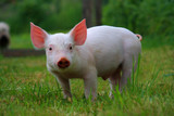 really a dream baby pig! - Fine Art prints