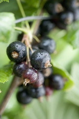 Blackcurrants on the bush