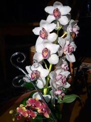 White Orchid-Phalaenopsis