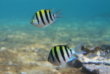 Sergeant major fishes of Red Sea