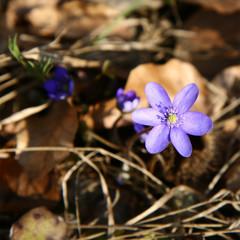 Hepatica (liverwort) flowers
