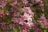 Crabapple Blossom 4 - 21797484