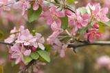 Crabapple Blossom 3 - 21797491