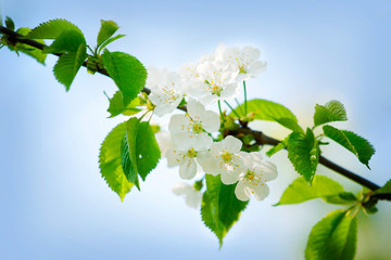 Spring cherry blossoms in natural background