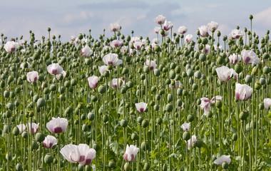 Field of blooming poppys in Czech Republic