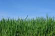 blé en herbe
