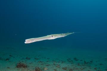 Smooth cornetfish