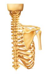 Esqueleto espalda con trazado recorte