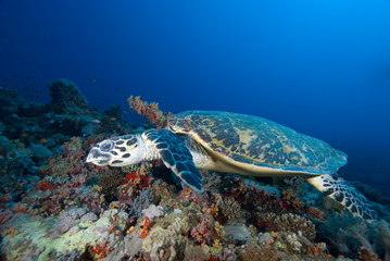 Hawksbill turtle  above coral reef.