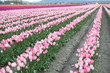 Pink Diamond Tulips Field
