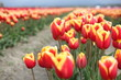 Orange and Yellow tulip field