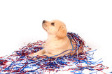 Puppy in fourth of july decorations poster