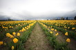 Yellow Tulip Fild