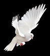 A free flying white dove isolated on a black