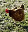 Poule à la ferme