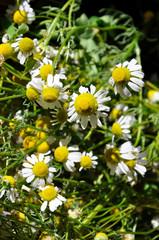 matricaria recutita  camomilla fiore tisana sedativo