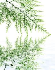 liane chlorophytum, cheveux négresse, fond blanc