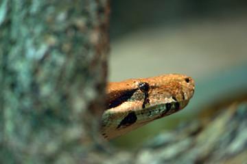 testa di serpente tra i rami della giungla